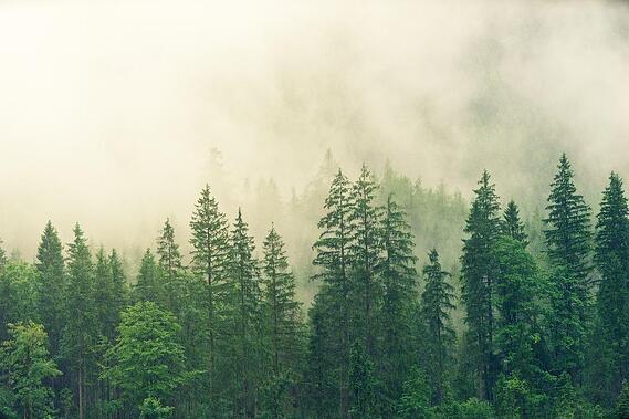 evergreen-forest-in-the-fog